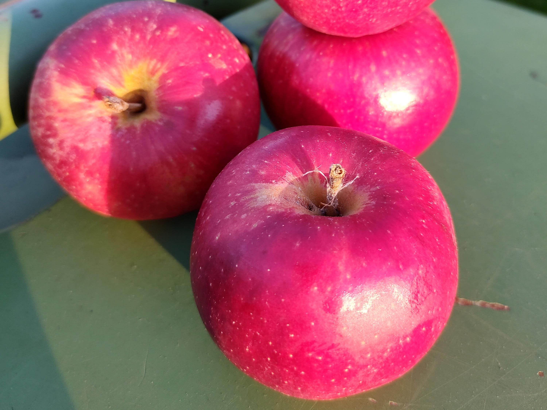 Äpfel - Santana | 1,5 kg