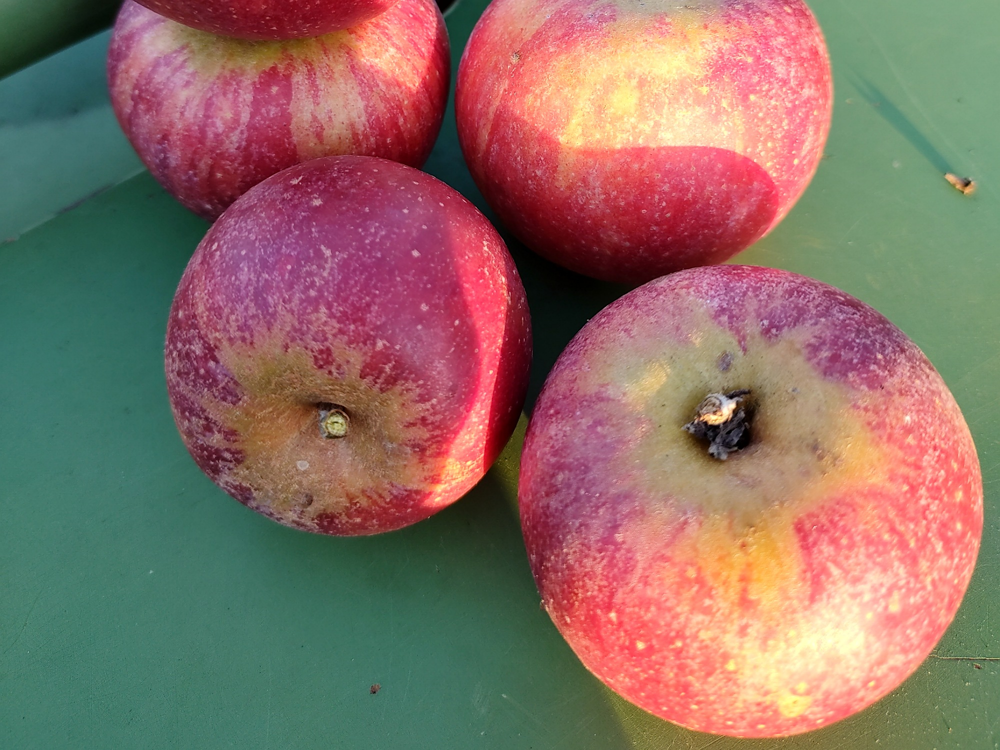 Äpfel - Cox Orange | 1,5kg