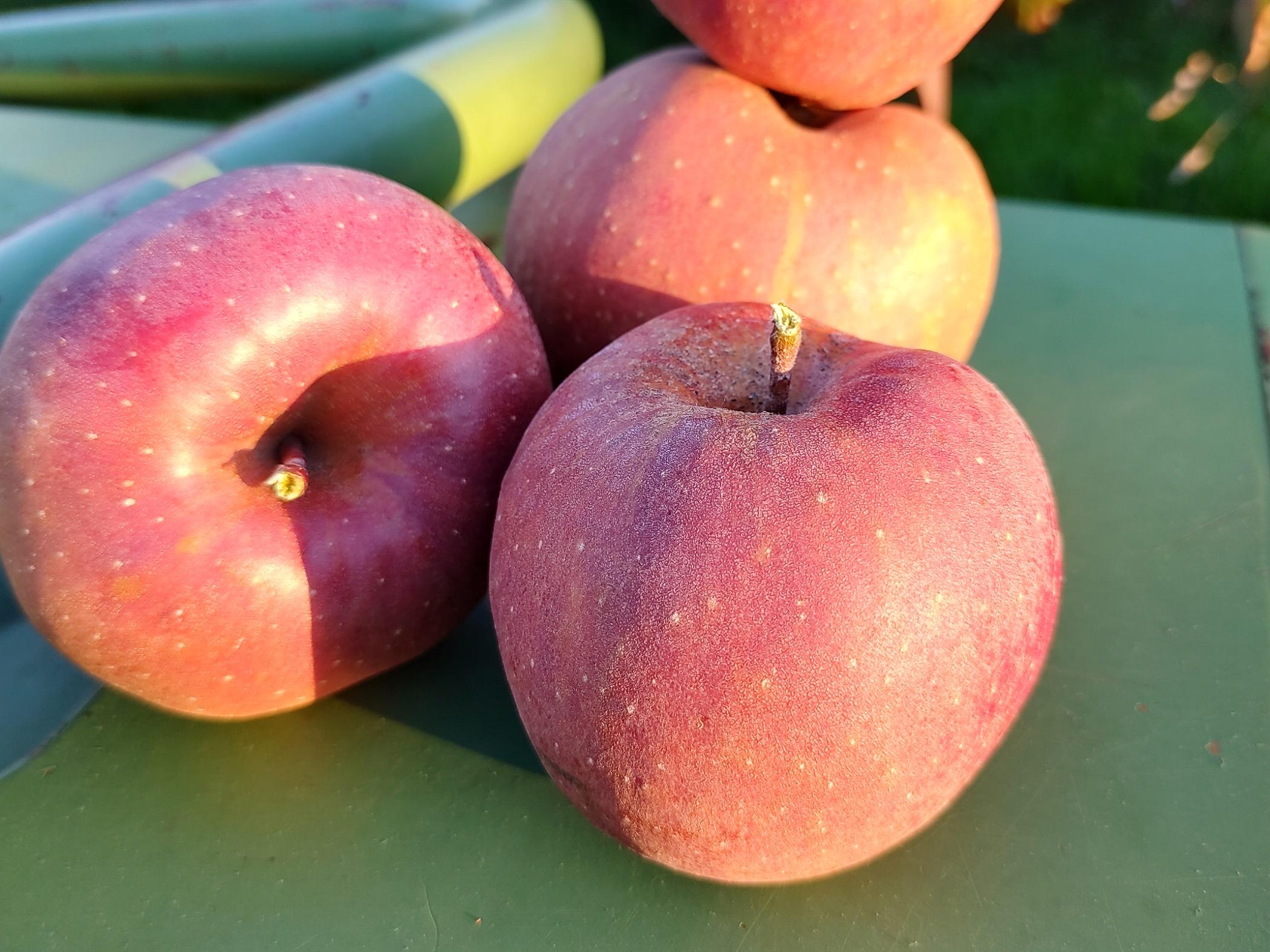 Äpfel - Boskoop | 1,5 kg